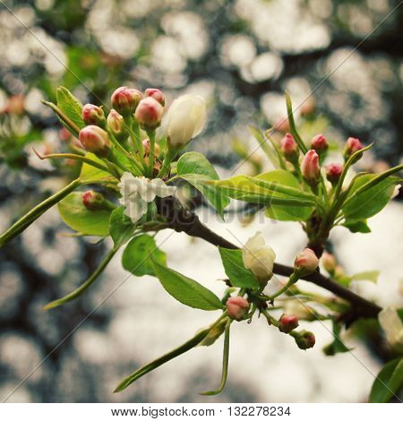 Apple Tree Bloom. Spring season. Aged photo. Flowers bloom in spring season. Apple Blossom Time. Blossoming apple flowers in spring. Retro filter photo. Blossom apple tree. Vintage effect.
