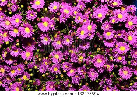 violet aster flowers background, Violet beautiful aster blooming in the garden
