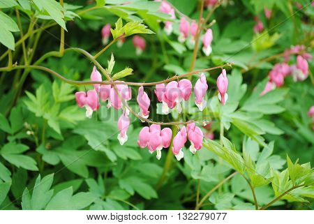 A Bleeding Heart Plant Blooming in Early Spring