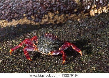 Closeup red crab on black volcanic rocks. Canary islands, Tenerife