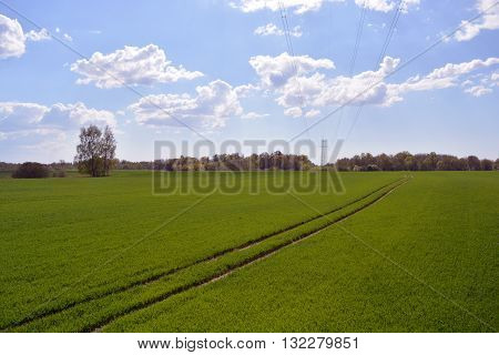spring landscape - field with young wheat and tractor tracks