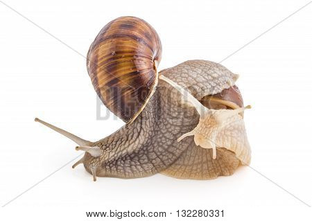 Two garden snails (Helix aspersa) isolated on white background. Teamwork concept