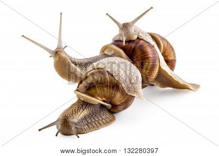 Three garden snails (Helix aspersa) isolated on white background. Teamwork concept