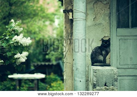 Cat sitting near old house on stony parapeth outdoor and lilac tree blooming with white flowers and lush green leaves