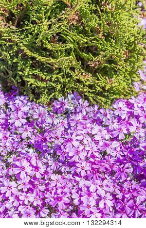 Flowering bushes Phlox subulate. Numerous pink blossoms