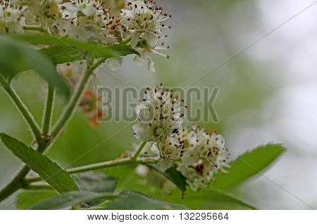 Flowers of a true service tree (Sorbus domestica) a rare cultivated fruit tree.