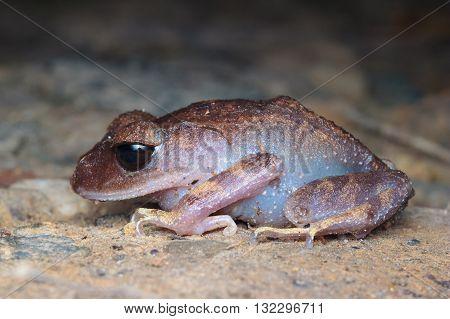 Montane Large-eyed Litter Frog (Leptobrachium montanum) from Kinabalu National Park.