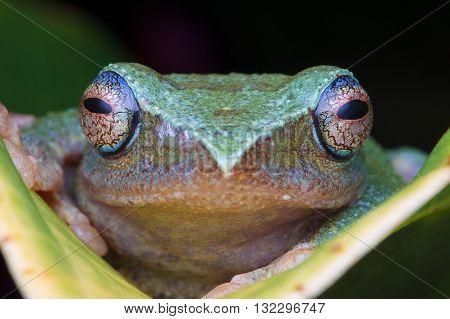 Masked Tree Frog (Rhacophorus angulirostris) from Kinabalu National Park.