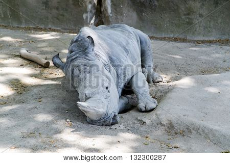 Sleeping white rhinoceros (Ceratotherium simum) at zoo, in Spain