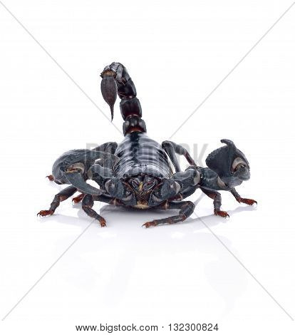 Scorpion isolated on white background animal insect