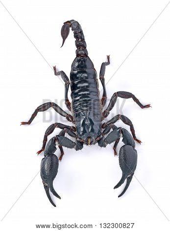 Emperor Scorpion on white background animal black