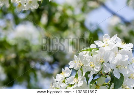 White apple tree flowers In the beginning of spring