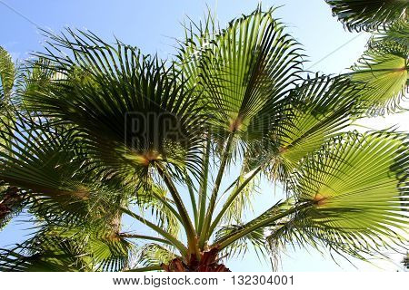 The branches of date palms. Bottom view.