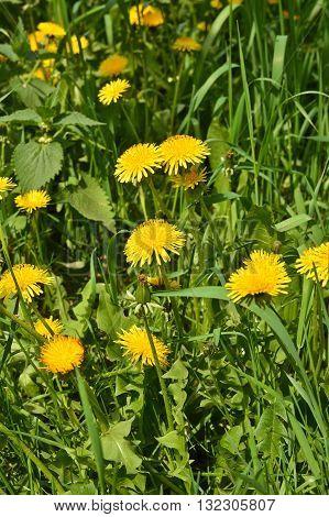 Dandelions in the meadow. Bright flowers dandelions on background of green meadows.