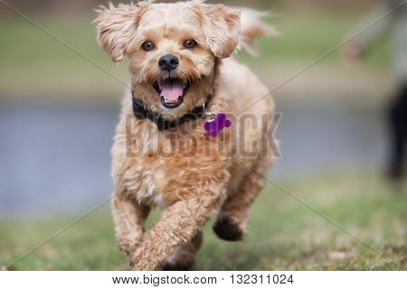 Bichon Havanese dog outdoors in nature on grass