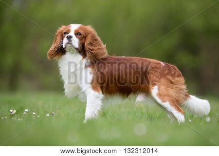 Cavalier King Charles Spaniel Dog Outdoors In Nature
