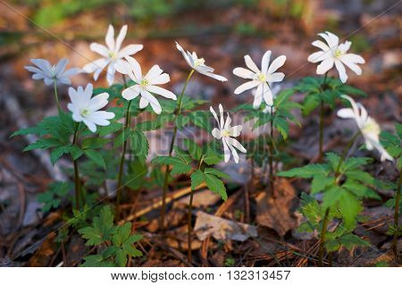 Altai anemone in spring forest. White flowers.