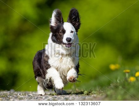 Welsh Corgi Dog Outdoors In Nature