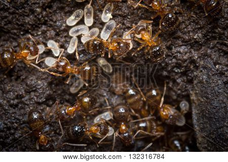 Red ants tend their eggs in macro close up