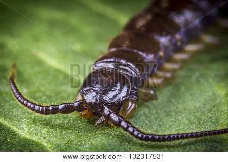 Extreme close up macro shot of Cryptopid Centipede Theatops californiensis on green leaf