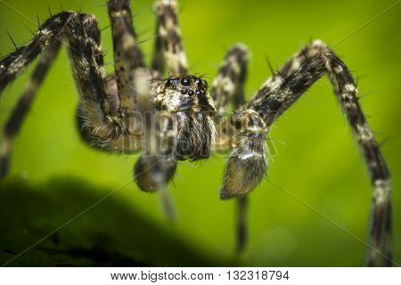 Extreme close up macro shot of a wolf spider on a green leaf
