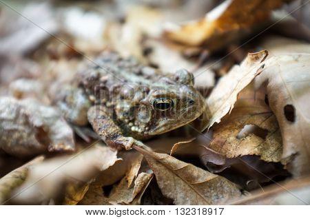 Macro grumpy Eastern American toad in natural habitat selective focus