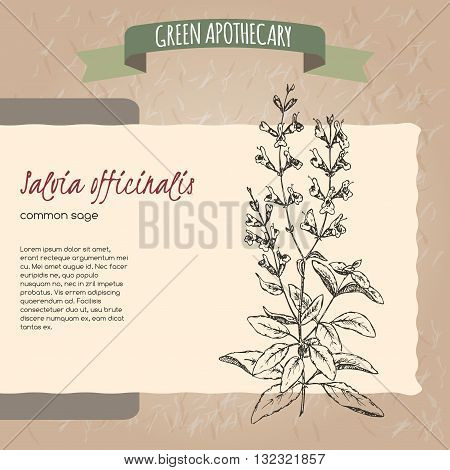 Salvia officinalis aka common sage sketch. Green apothecary series. Great for traditional medicine, cooking or gardening.