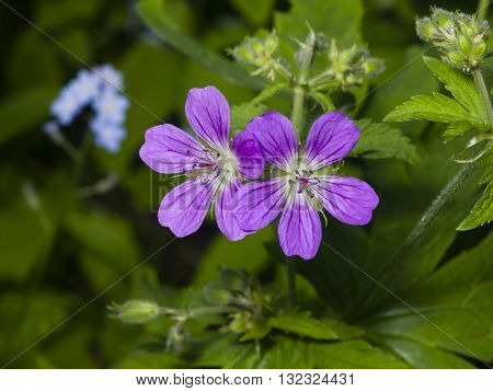 Flowers of Wood cranesbill Geranium sylvaticum with defocused background macro selective focus shallow DOF