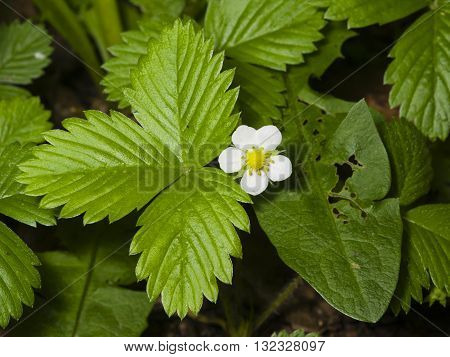 Wild strawberry flower with white petals and jagged leaves close-up selective focus shallow DOF