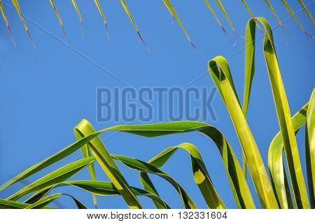 Date palm leaf on blue sky backrgound: nature theme and texture