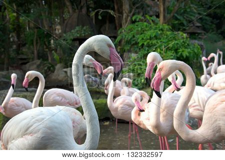 Pink flamingos in the aviary in the city of Chiang Mai. Thailand