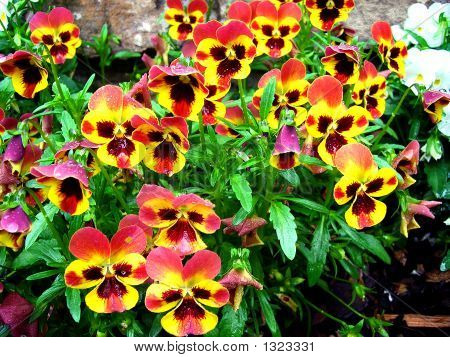 Orange & Red Pansies