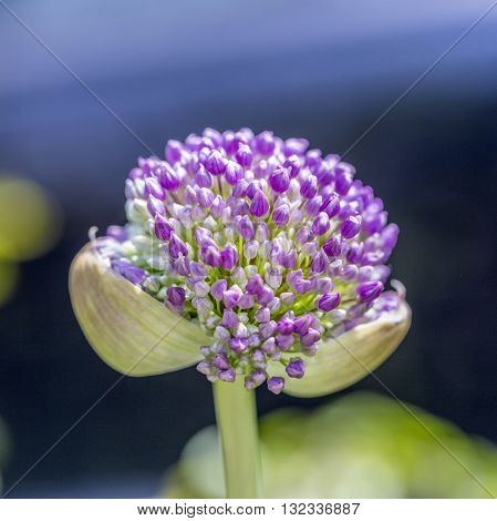 Pink Allium Sphaerocephalon