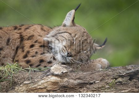 A European lynx sleeping on a tree trunk