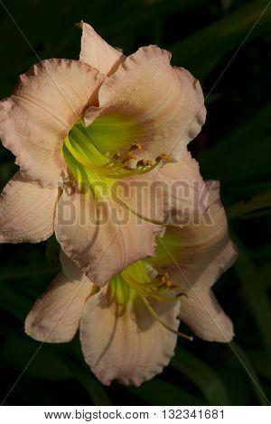 Pale Pastel Peachy Pink Hemerocallis Daylily Blossoms