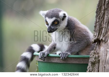 A lemur leaning over and staring down