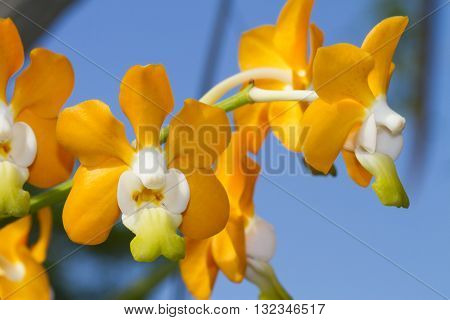Vanda denisoniana is a species of orchid found from China (Yunnan) to northern Indochina.