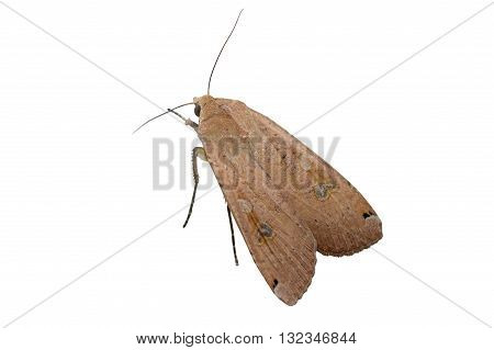 Large Yellow Underwing Moth on white background