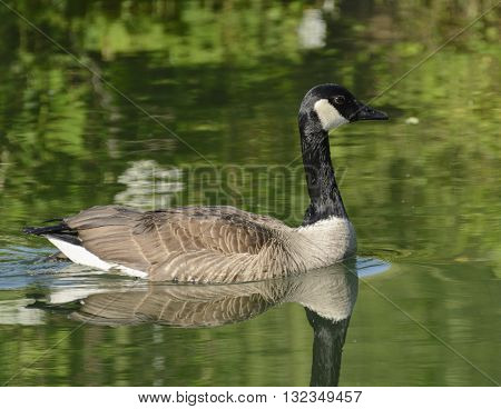 A male Canada Goose, Branta Canadensis, swimming on a lake in York County Pennsylvania.