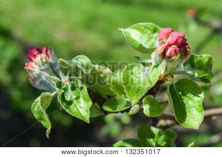 unopened buds on apple tree branch closeup