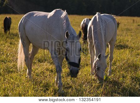 group of chestnut and white horses graze in a paddock