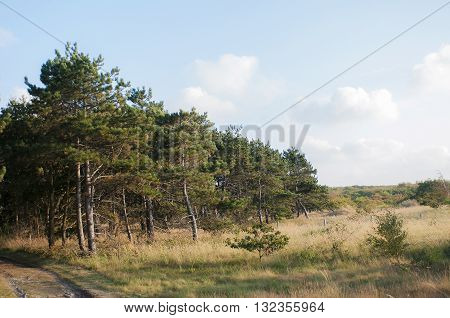 Some Scotch Pines (Pinus sylvestris) growing in a Dune Landscape