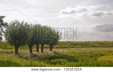 Five White Willows (Salix alba) growing in a Dutch Polder Landscape