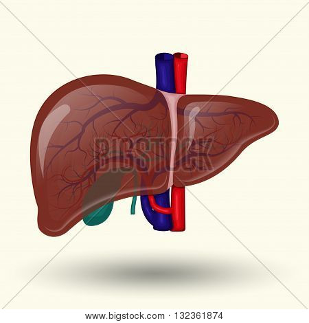 Human liver sign, human liver isolated on white background, human liver  icon, vector