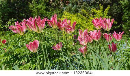 Close up of yellow-green-pink tulips Virichic in garden.