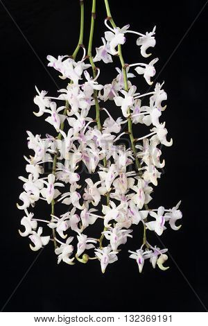 White orchid on a black background Aerides odorata.