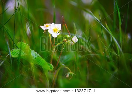 White strawberry blossom, selective focus, summer time