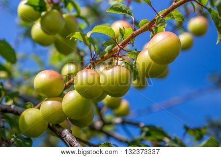 plums hanging from a small branch among leaves