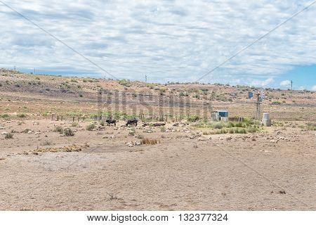 A typical arid Karoo farm scene with windmill cattle and sheep between Venterstad and Steynsburg in the Eastern Cape Province of South Africa