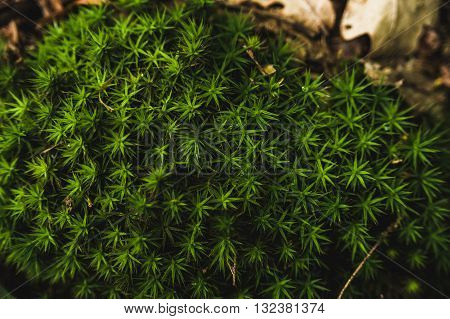 Beautiful lichen in the form of stars in the forest